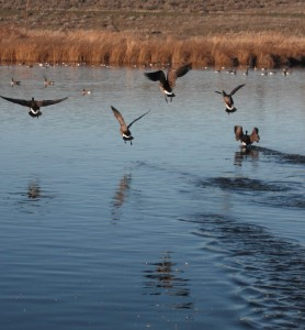 Canada Geese Take Flight at McNary National Wildlife Refuge Near Burbank