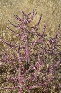 Blooming Purple Tumbleweed on Badger Mountain Canyon Trail