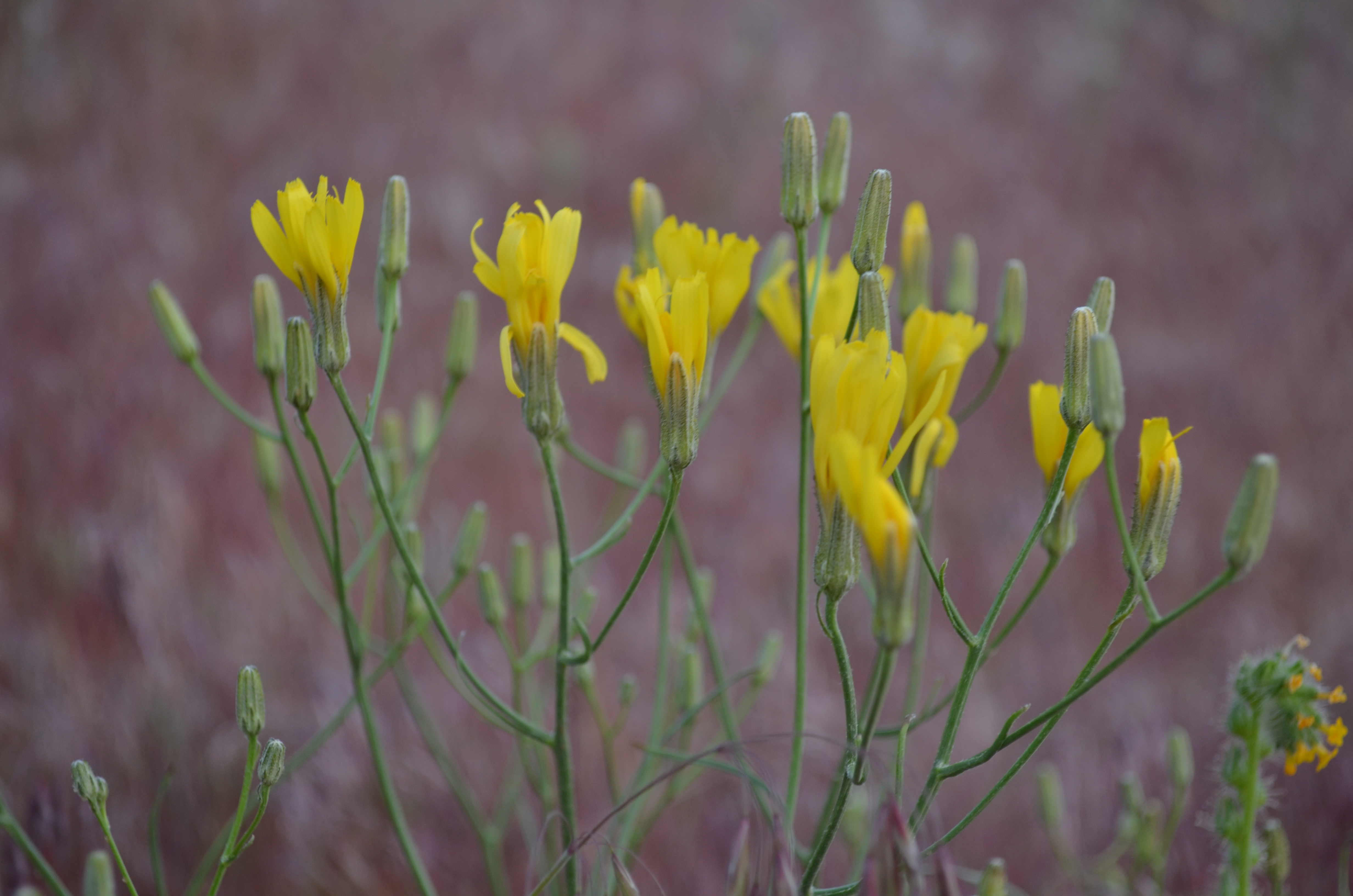 Columbia Basin Desert Wildflowers