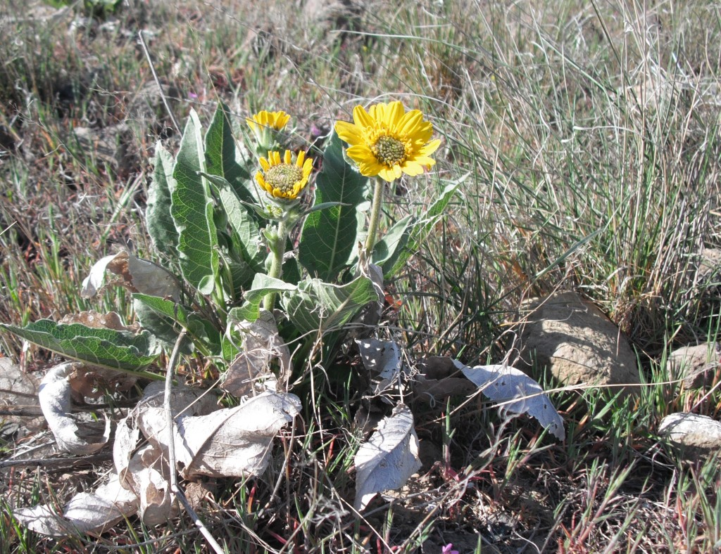 Carey's Balsamroot (click pic to enlarge)