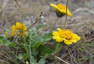 Rosy Balsamroot (click to enlarge)