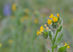 Fiddleneck Tarweed (click to enlarge)
