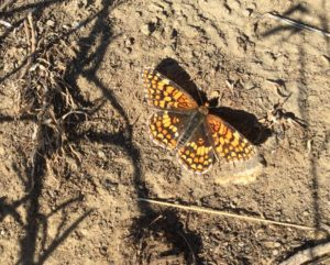 Butterflies are out on the trails around the Columbia Basin