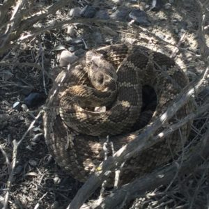 Rattlesnake in sagebrush