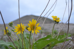 Carey's Balsamroot on Red Mountain