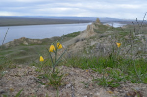 Yellow Bells on the Hanford Reach National Monument