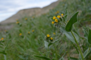 Fiddleneck Tarweed on the Hanford Reach National Monument