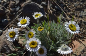 Piper's Daisy (Fleabane) (click to enlarge)