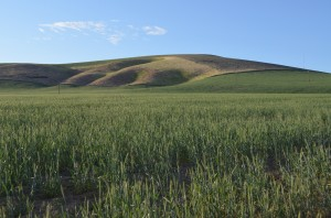 Green Wheat Fields Near Johnson Butte South of Kennewick