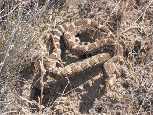 Rattlesnake at the Rattlesnake Mountain Preserve