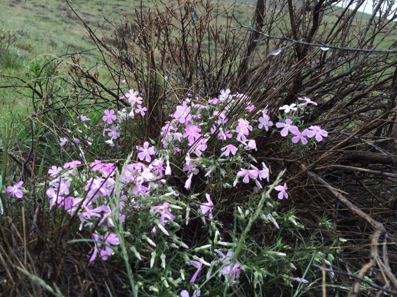 Phlox on Badger Mountain