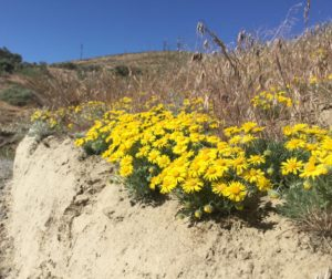 Yellow Piper's Daisies on Badger Mountain
