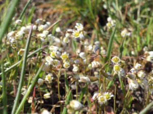 Spring Whitlowgrass (Draba verna) One of the earliest blooms in the spring