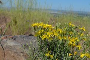 Slender Hawksbeard Crepis atrabarba