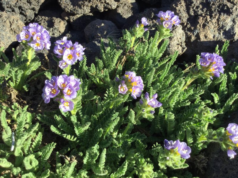 Beautiful purple flower groundcover at Lunch Counter on Mt. Adams