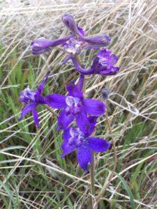 Delphineum variegatum - Larkspur